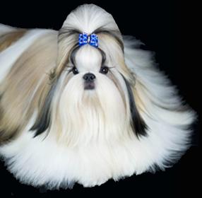 Shih Tzu Puppies Florida Shih Tzu Puppies Tian Mi Home