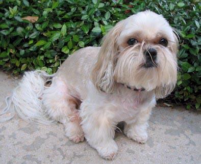 Shih Tzu Haircut | Shih Tzu puppies | Florida Shih Tzu