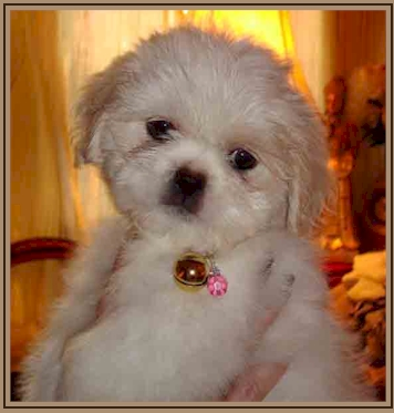 Shih Tzu Puppies Tian Mi Shih Tzu Home Florida Shih Tzu