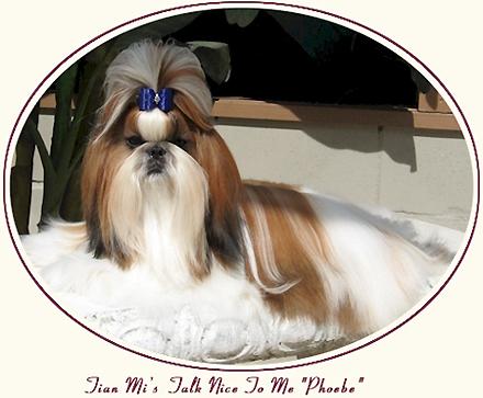 Shih Tzu Puppies Shih Tzu Brooming