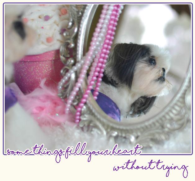 Shih Tzu puppies | Florida Shih Tzu puppies | Tian MI HOME