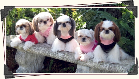Shih Tzu Puppies Florida Shih Tzu Puppies Tian Mi Kids