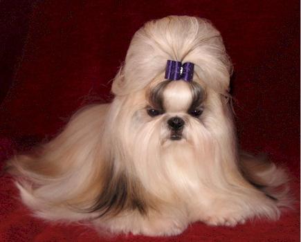 Shih Tzu Haircut Shih Tzu Puppies Florida Shih Tzu