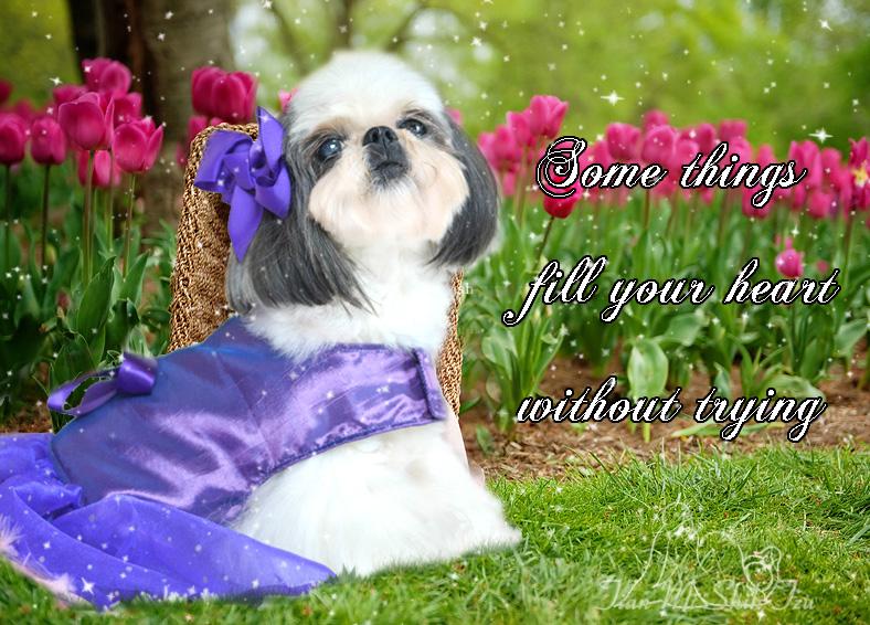 Shih Tzu Puppies Florida Shih Tzu Puppies Tian Mi Shih Tzu