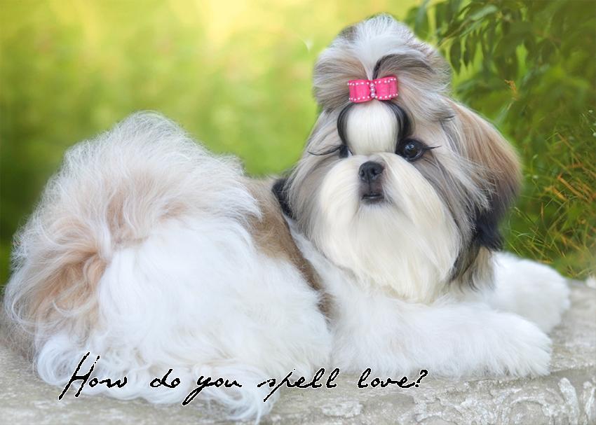 Shih Tzu Puppies Florida Tian Mi